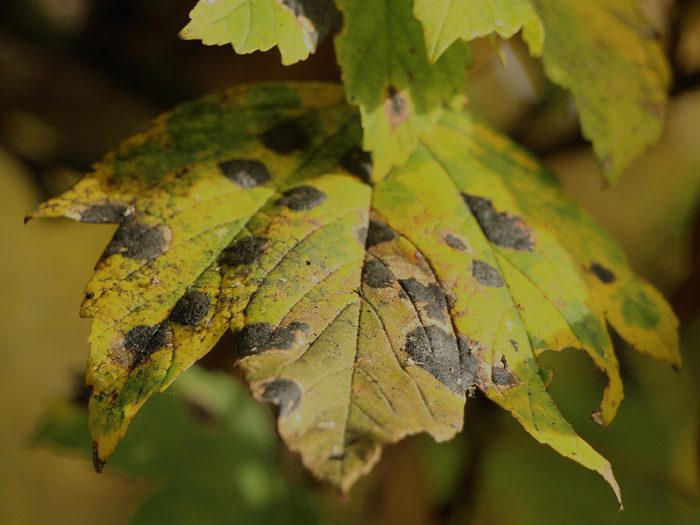 Signs your tree is dying - black spots on tree leaf