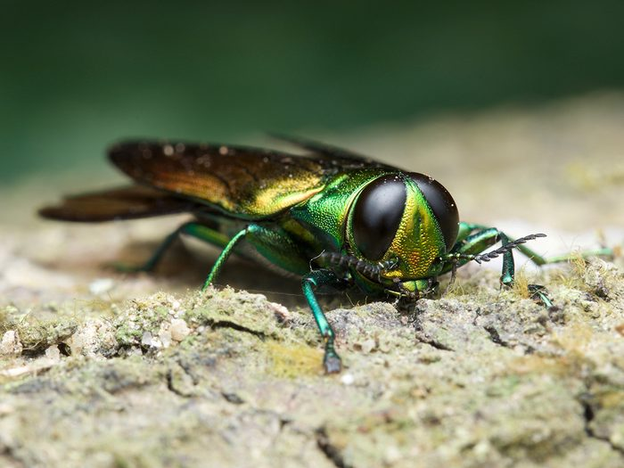 Signs your tree is dying - emerald ash borer