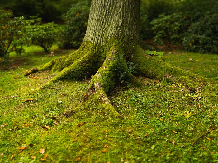 Signs your tree is dying - heaving tree roots covered in moss