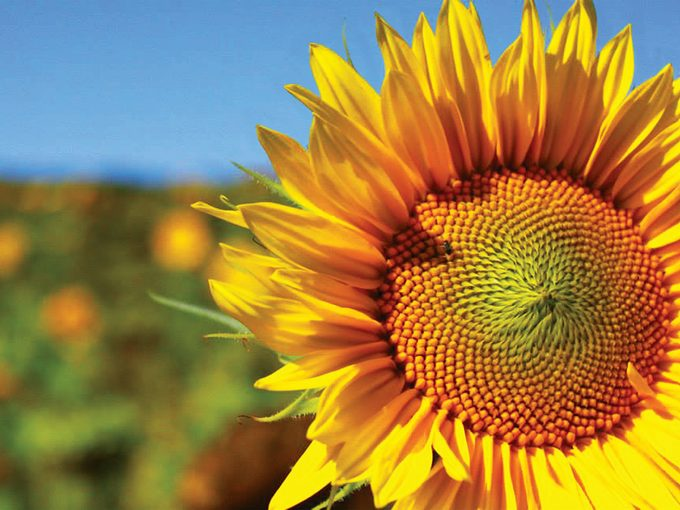 Sunflower Photography - Happy face