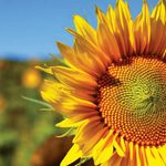 Sunflower Photography to Brighten Your Day