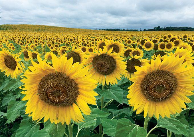 Sunflower Photography - Field of sunflowers