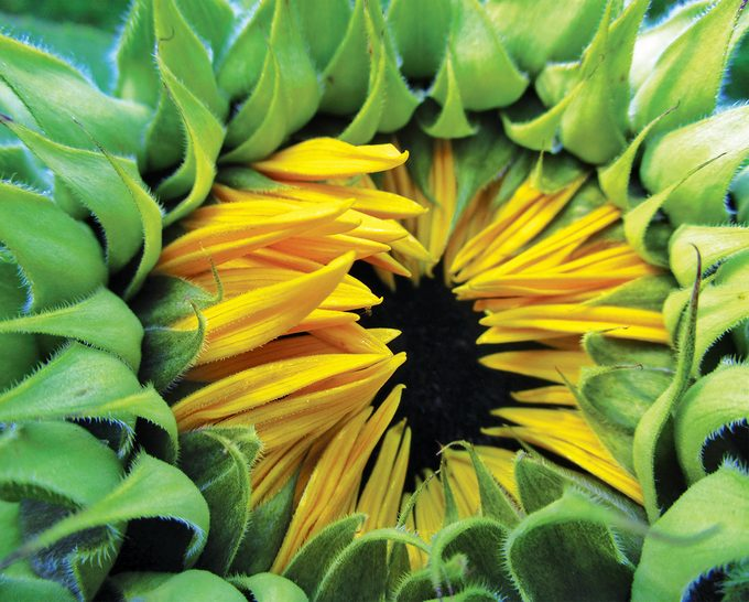 Sunflower photography - sunflower ready to bloom