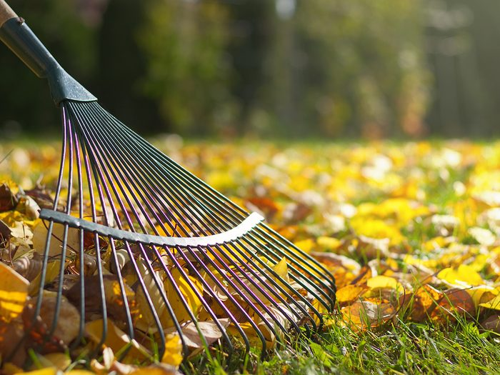 Should you rake leaves or just leave them - Raking fallen leaves in the garden , detail of rake in autumn season.