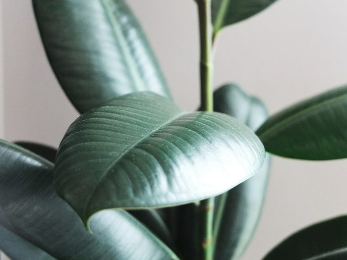 Uses for mayonnaise - shiny healthy looking house plants leaves