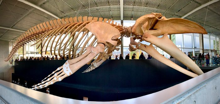 Canadian museums artefacts - Blue whale skeleton Beaty Biodiversity Museum