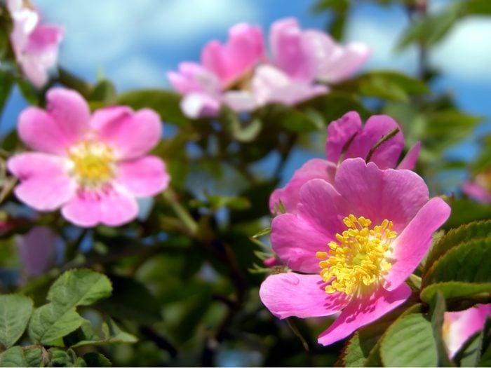 Provincial Flowers - Wild Rose