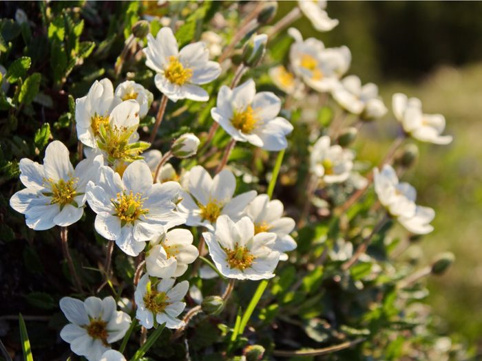 Provincial Flowers - Mountain Avens