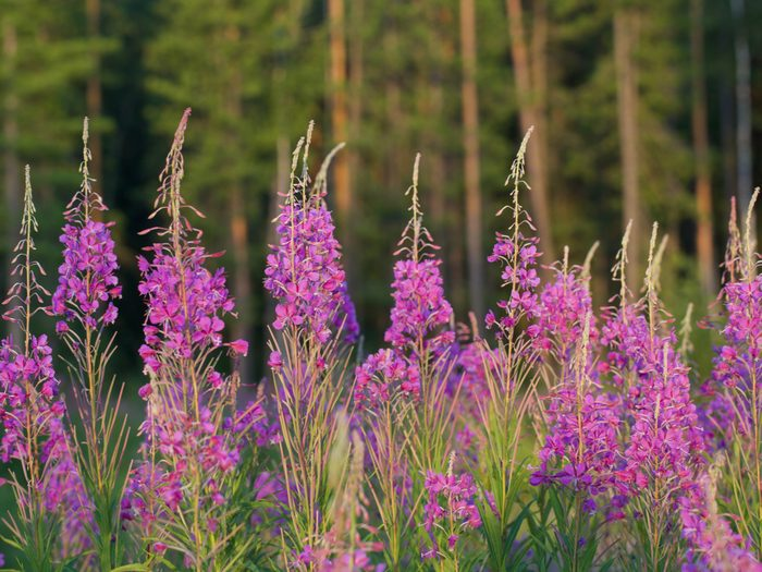 Provincial Flowers - Fireweed